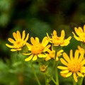 Wildflowers are beautiful and abundant.- Twin Lakes Hike via Sheep Lake Trail