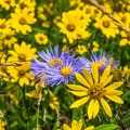 Asters and daisies.- Dumont Lake Campground