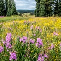 Wildflowers everywhere.- Dumont Lake Campground