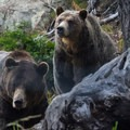 Grinder and Coola are orphaned bears that live at the top of Grouse.- The Grouse Grind + Goat Ridge