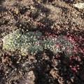 Hitchcock's wild buckwheat (Eriogonum capistratum).- Mammoth Crest Trail