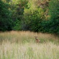 Deer are very common along the trail.- Bennie Creek