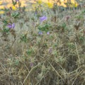 Purple star thistle lurks off trail in Loma Alta.- Loma Alta