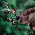 If you're lucky you can snack on blackberries along the trail. - Quarry Rock