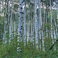 Aspen groves along the upper part of the trail.- Lake Blanche Trail