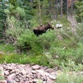 A young moose just across the Henrys Fork River.- Kings Peak