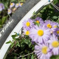 Asters cover the fields at the top of the trail.- Little Scraggy Mountain Bike Ride