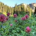 Indian paintbrush sitting below Devil's Castle (10,800').- Albion Basin Campground