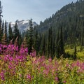 Fireweed.- Ring Lake Trail