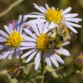 Bumblebee on thickstem asters (Eurybia integrifolia).- Donut Falls