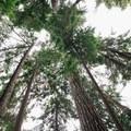 Majestic trees everywhere. - Sasamat Lake