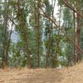 The eucalyptus.- Carquinez Overlook Loop