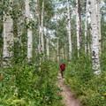 The aspen grove is a pretty level part of the trail.- Upper Fish Creek Falls
