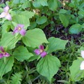 Trillium and other wildflowers carpet the forest floor.- Tidbits Mountain
