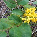 Oregon grape blooms early in the season.- Crater Lake, Wallowas