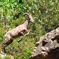 A bighorn sheep leaps between boulders with ease.- Waterton Canyon