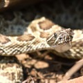 Rattlesnake on the side of the trail.- Waterton Canyon
