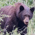 Black bear frequent the area, especially in late summer and early fall.- Waterton Canyon