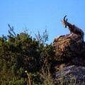 Bighorn sheep above the cliffs.- Waterton Canyon
