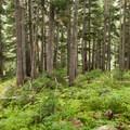 Verdant forest.- Rainbow Lake + Madeley Lake Hike
