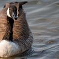 Canada goose at Bear Creek Lake.- Mount Carbon Loop