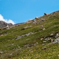 Mountain goats grazing near the trail.- Mount Bierstadt, West Slopes Route