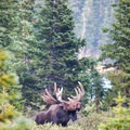 Moose frequent the area between Brainard Lake and Mitchell Lake.- Mitchell Lake + Blue Lake