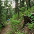Deep pine section.- Stumpjumper / Stumpy