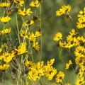 Prairie sunflower (Helianthus petiolaris).- South Boulder Creek Trail via Bobolink Trailhead