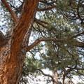 Ponderosa pine (Pinus ponderosa).- Red Rocks Trail