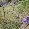 Dotted gay feather (Liatris punctata).- Red Rocks Trail