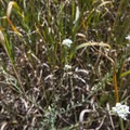 Unidentified flower species (help us identify it by providing feedback).- Red Rocks Trail