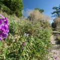 Purple peavine (Lathyrus eucosmos) alongside the McClintock Trail.- McClintock Trail Hike