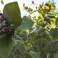 Unidentified shrub/berry species (help us identify it by providing feedback).- McClintock Trail Hike