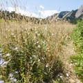 Sky blue aster (Symphyotrichum lanceolatum var. hesperium) along the Chautauqua Trail.- Chautauqua Trail Hike