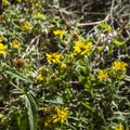 Unidentified aster species (help us identify it by providing feedback).- Lookout Mountain Trail