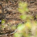 Hare along the Forest Loop.- Lookout Mountain Nature Center Forest Loop