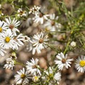 Many-flowered aster (Symphyotrichum ericoides).- Lookout Mountain Nature Center Forest Loop