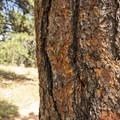 Ponderosa pine (Pinus ponderosa).- Lookout Mountain Nature Center Forest Loop