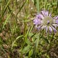 Horsemint (Monarda fistulosa var. menthaefolia).- Lookout Mountain Nature Center Forest Loop