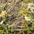 Pearly everlasting (Anaphalis margaritacea).- Lookout Mountain Nature Center Forest Loop