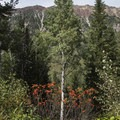A bright bush of red berries in front of an aspen tree.- Secret Falls Trail
