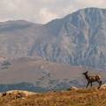 A lone elk spotted along Tombstone Ridge.- Ute Trail Hike to Timberline Pass