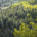 The many colors of changing aspen.- Scenic Highway 210