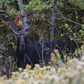 A moose along the road near Midway.- Scenic Highway 190 to Guardsman's Pass