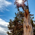 Millenary bristlecone pine trees can be found in the Mount Goliath Natural Area.- Mount Evans + Mount Goliath