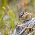 Chipmunk and other wildlife inhabit this wilderness area.- Mount Evans + Mount Goliath
