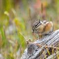 Chipmunk and other wildlife inhabit this wilderness area.- Mount Evans + Mount Goliath