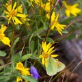 Wildflowers in the Mount Goliath Natural Area.- Mount Evans + Mount Goliath