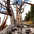 Bristlecone pine.- Mount Evans + Mount Goliath